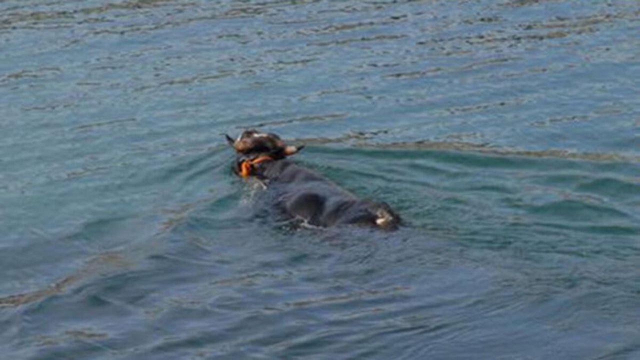 Kasımpaşa'dan denize atlayan kurbanlık dana Balat sahiline kadar yüzdü -  Haberfokus
