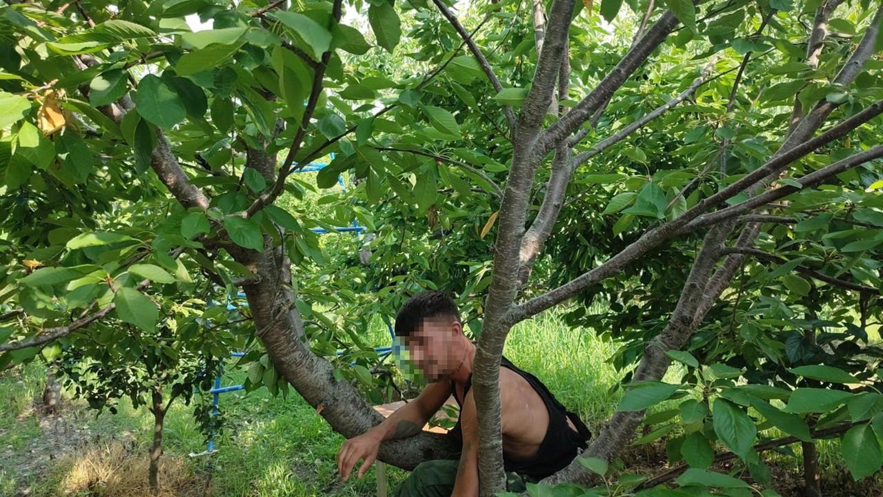 Firari hükümlü,kiraz ağacında saklanırken yakalandı