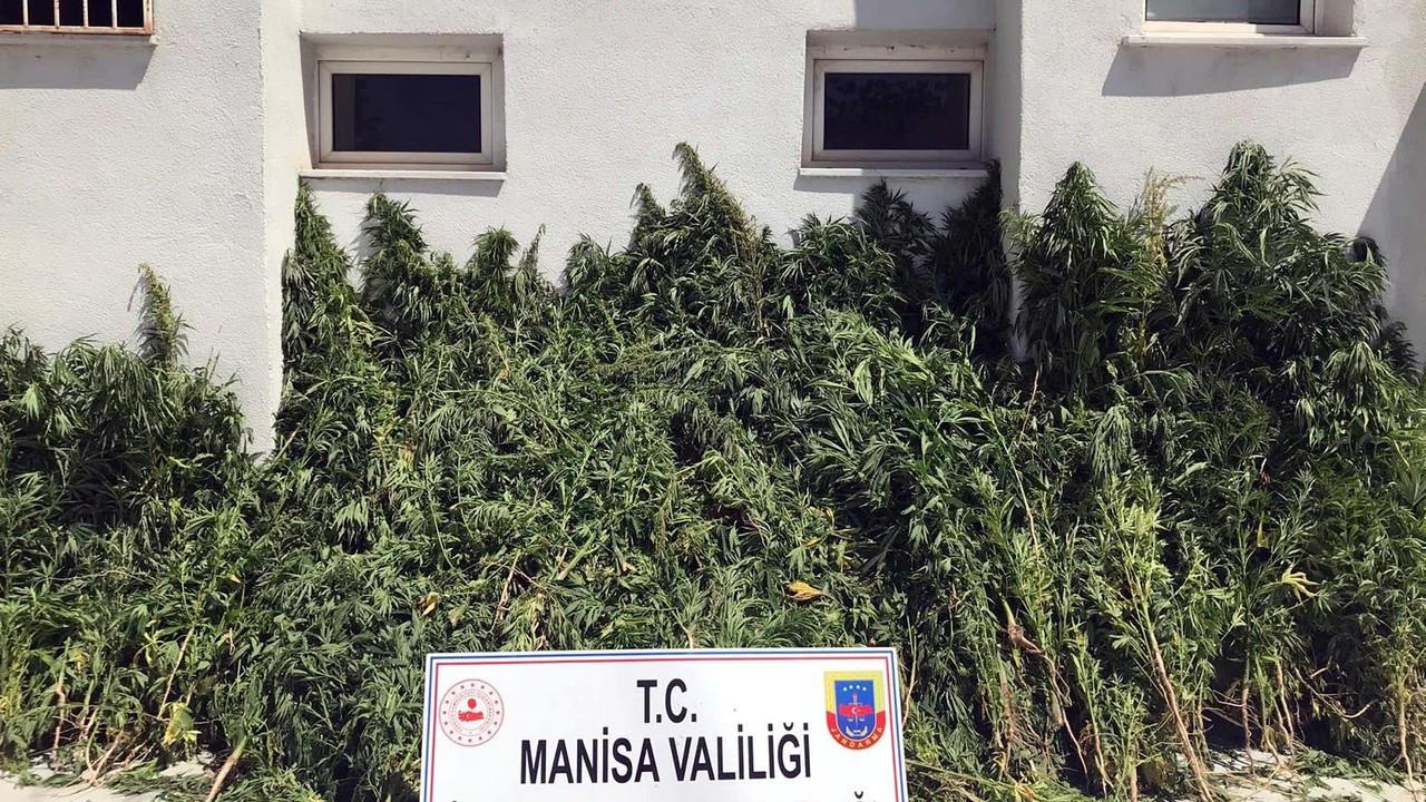 Manisa'da 7 bin 253 kök Hint keneviri ele geçirildi