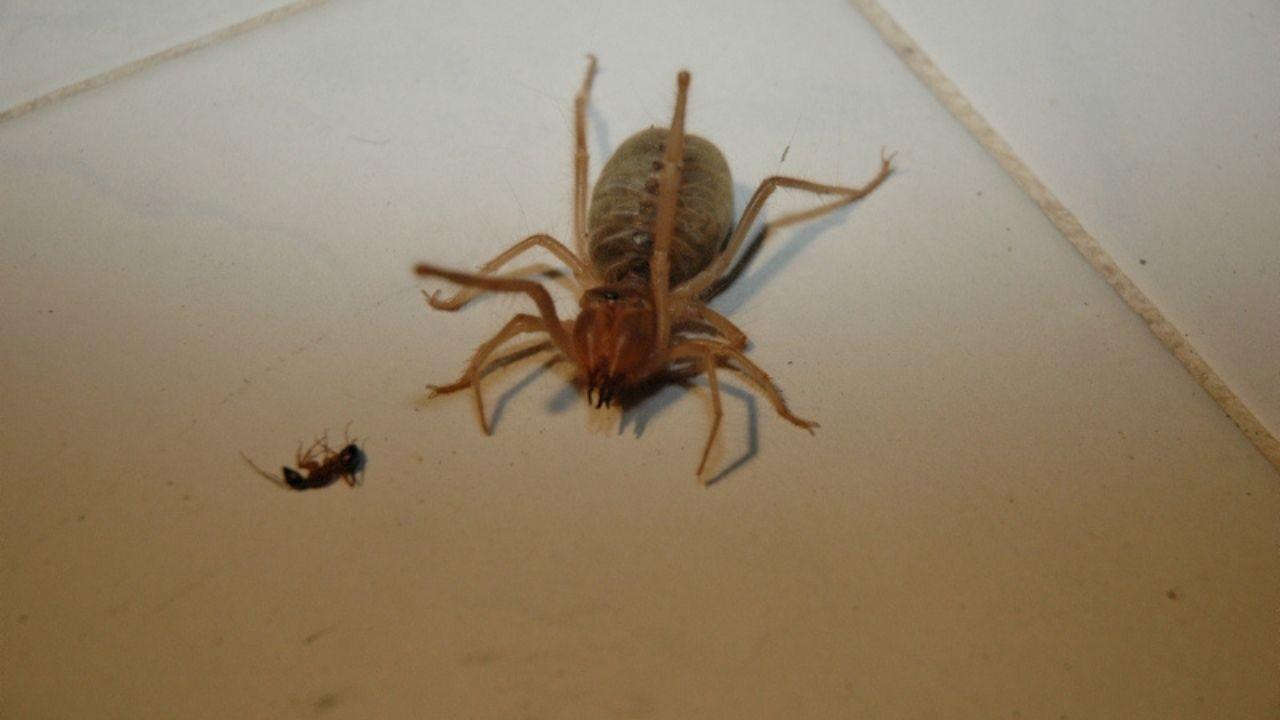 Et yiyen örümcek paniği!
