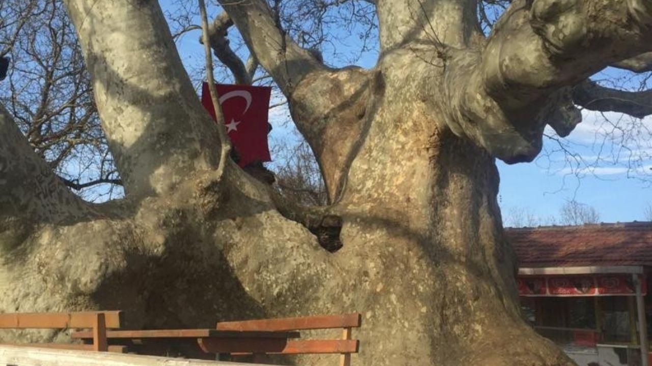 İki imparatorluk gören 820 yaşındaki ağaç turistlerin ilgi odağı oldu