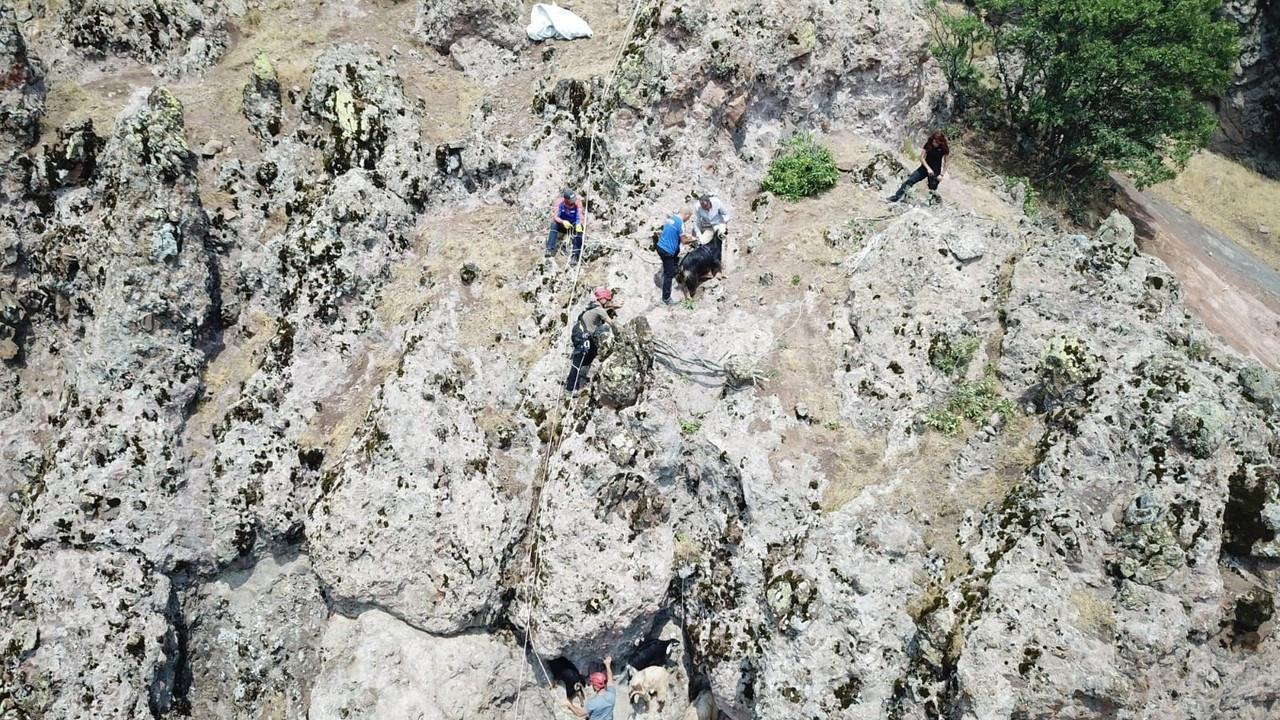 Yaban hayvanlarının saldırısından kaçan keçileri AFAD ve jandarma ekipleri kurtardı