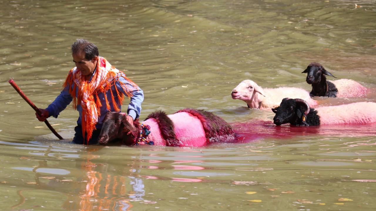 Denizli'de 8 asırlık gelenek; koyunları nehirden geçirmek