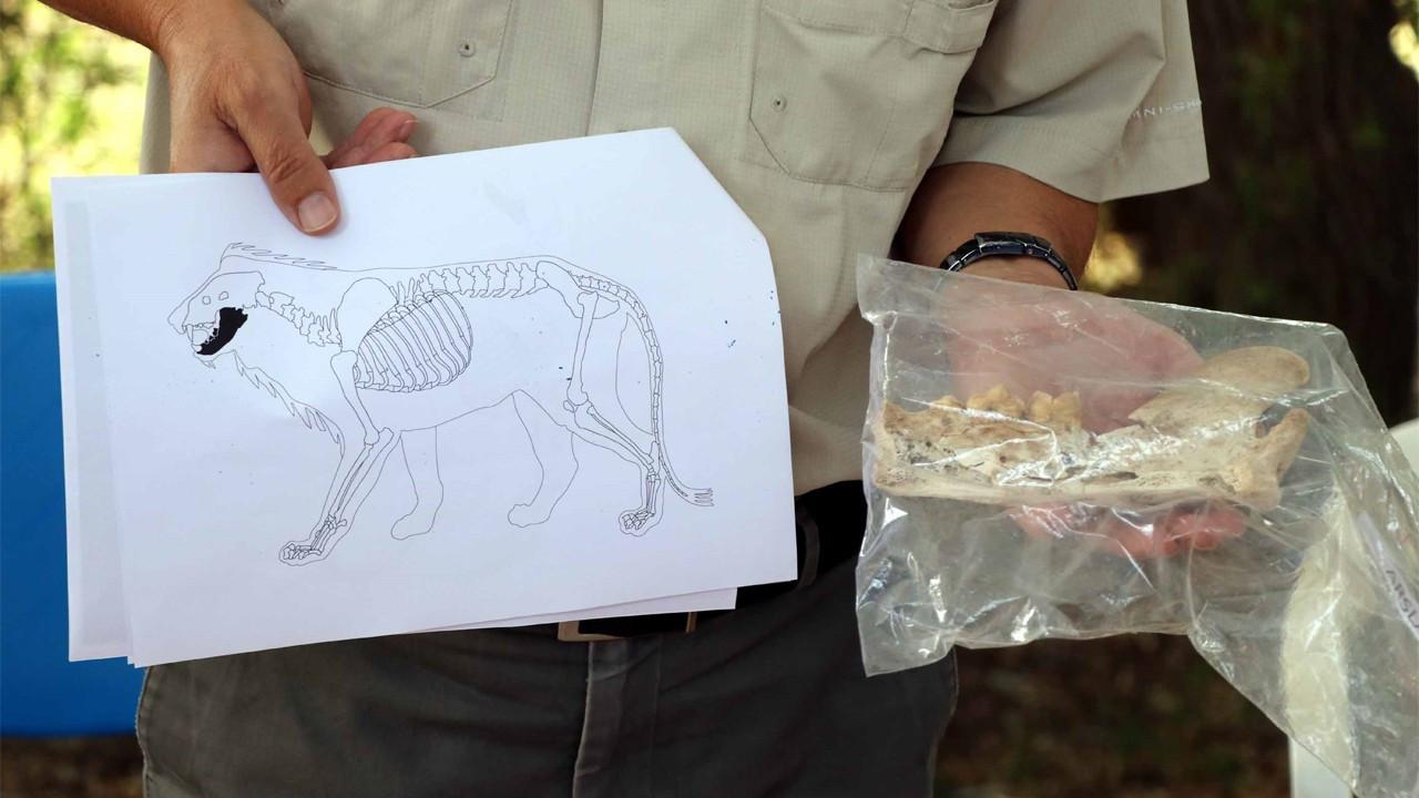 4 bin yıl öncesine ait aslan kemiği bulundu