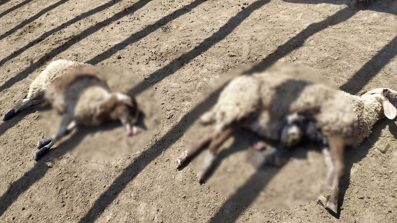 Kastamonu'da iki ağıla ayı saldırdı: 25 koyun öldü