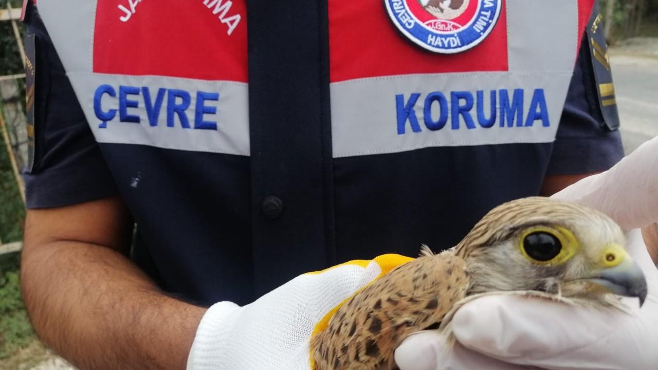Jandarma'nın bulduğu yaralı 'Doğan' kuşu tedaviye alındı
