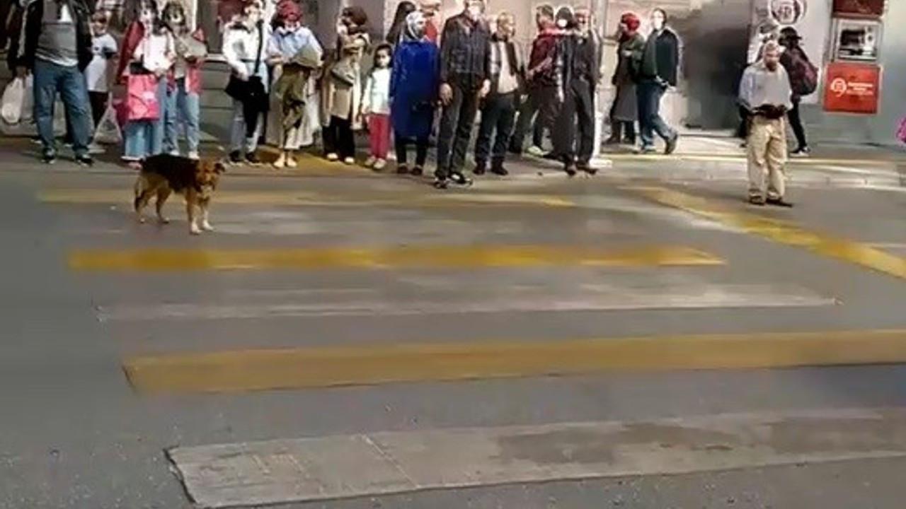 Kırmızı ışıkta bekleyip yeşil ışıkta geçen köpek görenleri şaşırtıyor