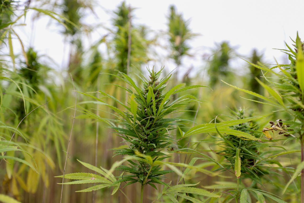 Mucizevi bitki kenevirin hasat işlemleri başladı - Sayfa 1