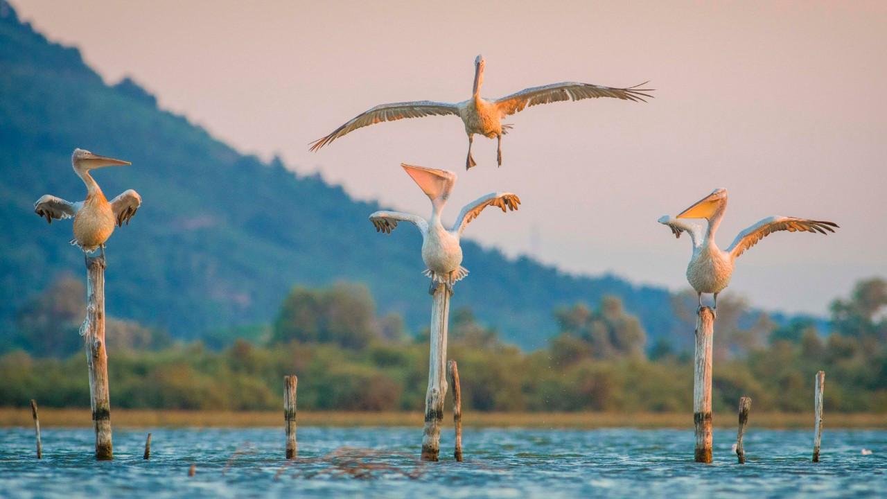 Tepeli pelikanlar Bursa'da