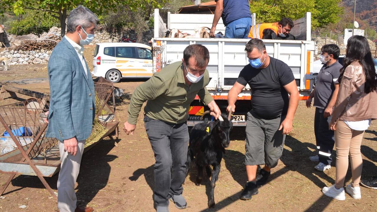 Marmaris'te yangınlarda hayvanları ölen ailelere 257 keçi dağıtıldı